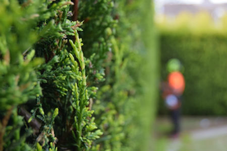Hedge Maintenance in Farnham