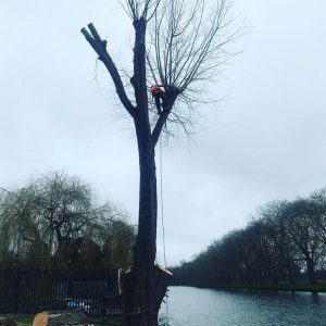 Big Week Removing 20 Trees in Windsor Castle