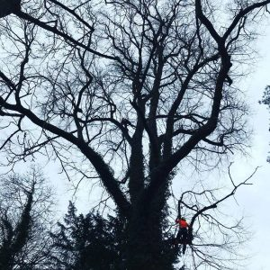 Reduced Huge Lime Tree - Tree Surgeons Sussex