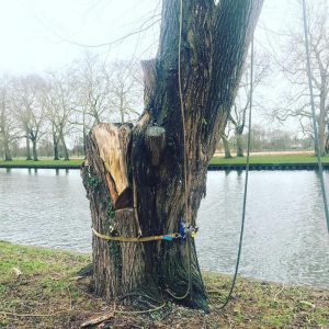 Removing 20 Trees in Windsor Castle