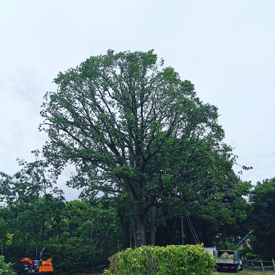 Large Oak reduction Tree Services Sussex