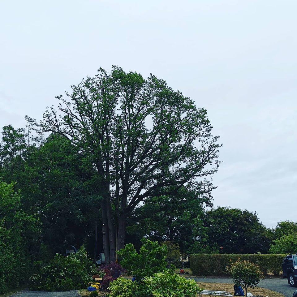 Tree Surgeons Sussex Large Oak reduction